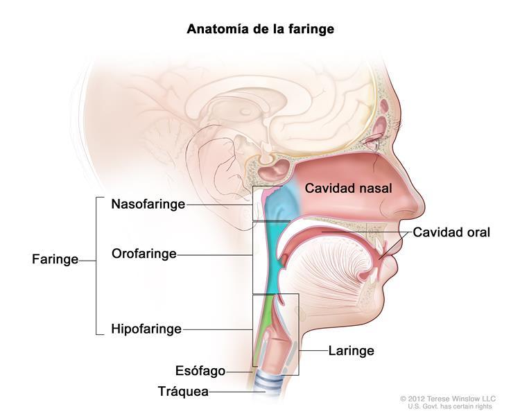 Información general sobre el cáncer de hipofaringe