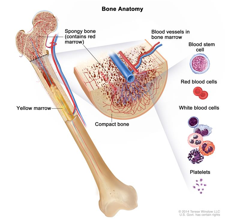 Red And Yellow Bone Marrow Diagram